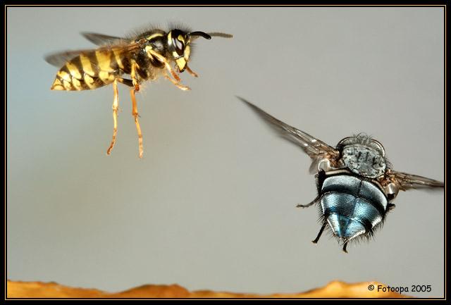 Você já viu uma abelha e uma mosca de tão perto??